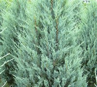 Juniper 'Wichita Blue' Picture