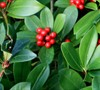 Berri Magic Japanese Skimmia