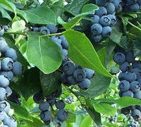 Premier Blueberry Bush Picture