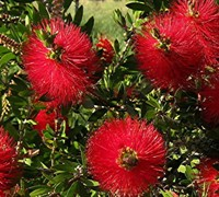 Scarlet Compacta Bottlebrush Picture