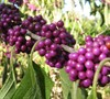 Americana Beautyberry