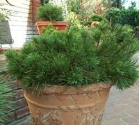 Mugo Pine (Dwarf) Picture