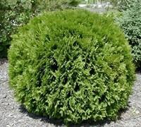 Globe Arborvitae Picture