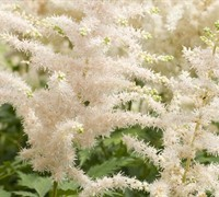 Milk And Honey Astilbe Picture