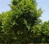 Bosque Lacebark Elm