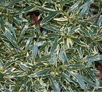 Variegated Creeping Gardenia Picture