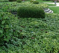 Pachysandra Picture