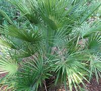 European Fan Palm Picture