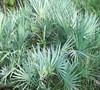 Silver Saw Palmetto Palm