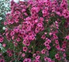 Leptospermum
