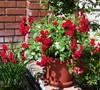 Warm & Fuzzy Rose