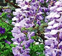 Lavender Falls Wisteria Picture