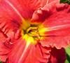 Aruba Red Daylily