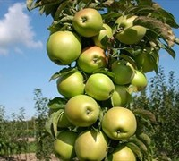 Tangy Green Urban Columnar Apple Picture