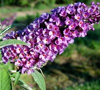 Asian Moon Butterfly Bush Picture