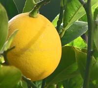 Meyer Lemon Picture