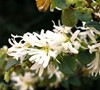 Snowmound Loropetalum