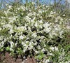 O Yashima Flowering Quince