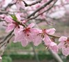 Red Haven Peach Tree