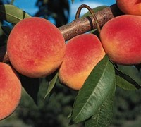 Red Haven Peach Tree Picture