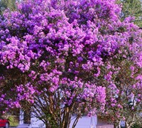 Twilight Crape Myrtle Picture