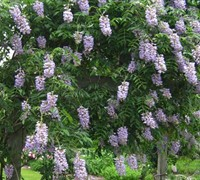 Blue Moon Wisteria Picture