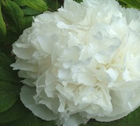 Luster Of Jade Chinese Tree Peony Picture