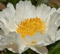 Krinkled White Herbaceous Peony Picture