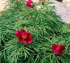 Little Red Gem  Herbaceous Peony