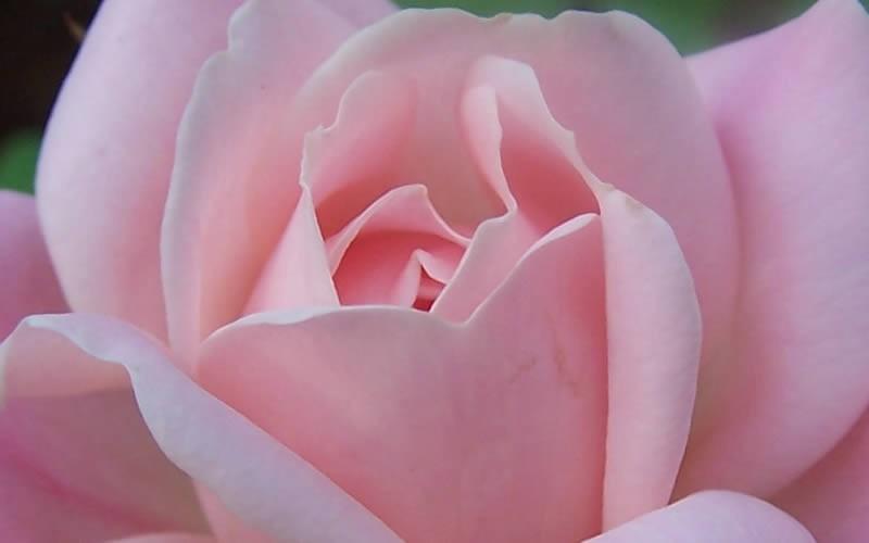 Georgia Peach Shrub Rose Picture