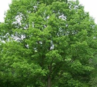 Chinquapin Oak Tree Picture