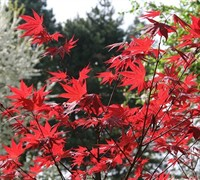 Oshio-Beni Japanese Maple Picture
