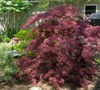 Tamukeyama Japanese Maple Picture