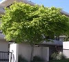Common Japanese Maple