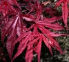 Emperor One Japanese Maple