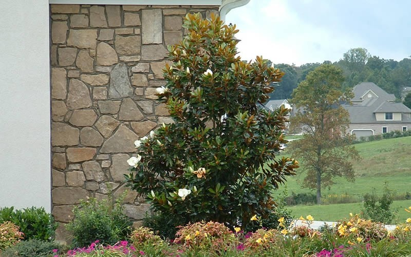 Little Gem Magnolia Picture