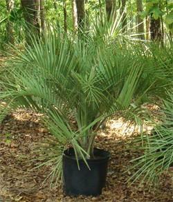 Planting a Palm Tree