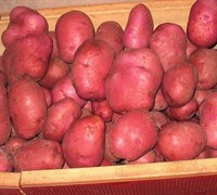 Red Norland Potato Picture