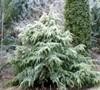 Silver Mist Deodara Cedar