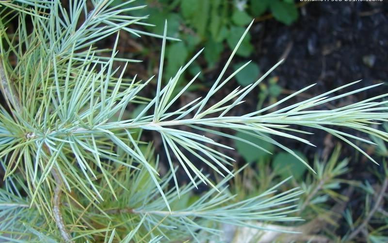 Silver Mist Deodara Cedar Picture