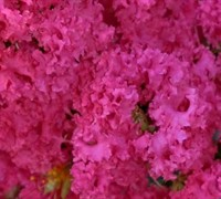 Raspberry Dazzle Dwarf Crape Myrtle Picture