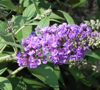 Buzz Violet Dwarf Butterly Bush Picture