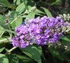 Buzz Violet Dwarf Butterly Bush