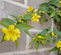 Carolina Jessamine Picture