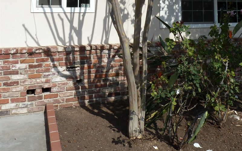 Older, Tall Crape Myrtle Pruned To Death? Picture