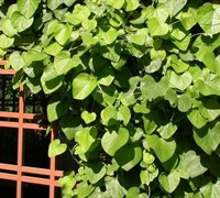 Aristolochia Tomentosa (Pipevine) Picture