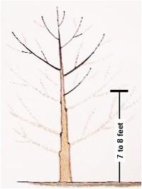 Limbing A Shade Tree