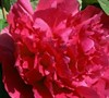 Number One Scholars Red Tree Peony