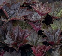 Palace Purple Heuchera Picture