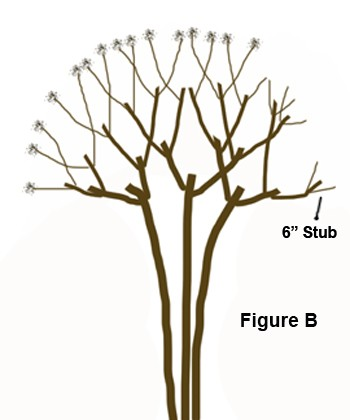 Pruning a Crape Myrtle - B